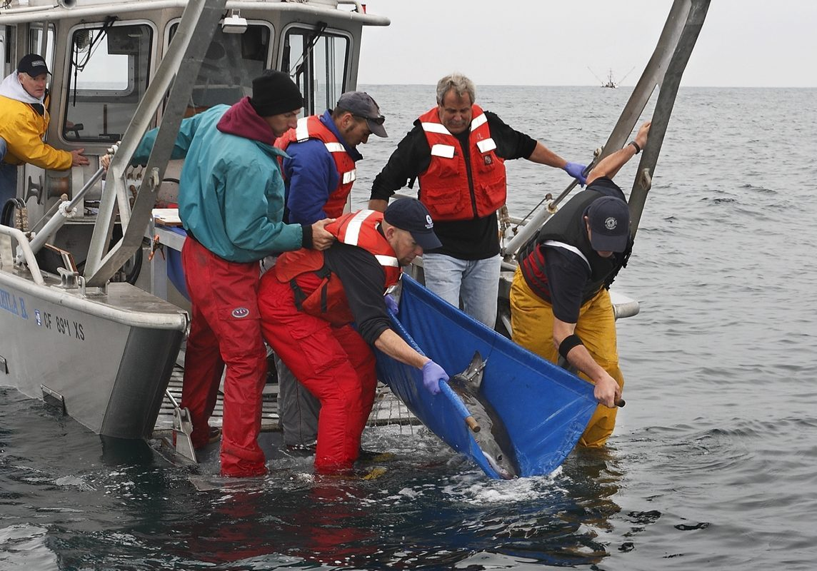 Husbandry staff preparing to releases the fifth juvenile (third female) white shark, Carcharodon carcharias