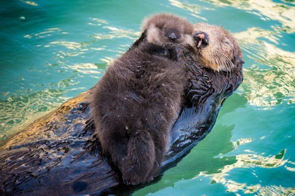 See Otters Hold Hands In Monterey Joie De Vivre